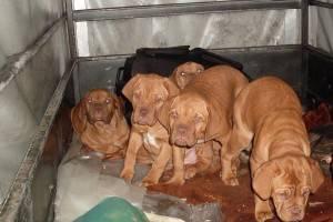 I cuccioli sequestrati (foto Marco Preve)