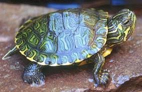 Animali esotici e animali da compagnia non convenzionali for Sassi per tartarughe