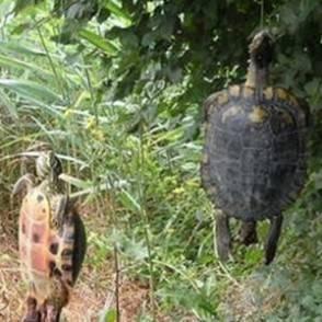 Pisa trovate due tartarughe impiccate wwf grave crudelt for Laghetti per tartarughe