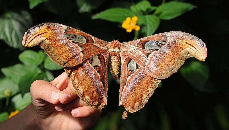 Farfalla cobra la pi grande del mondo for Foto meravigliose del mondo