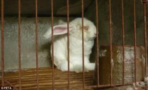 Cina Conigli torturati H&M blocca produzione capi angora