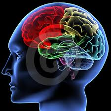 Il cervello umano diviso in aree