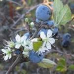 Il Prunus spinosa trigno – arbusto molisano – ha propriet- antitumorali