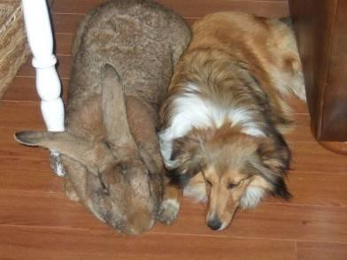coniglio gigante scozia