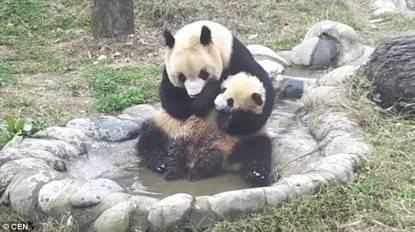 Il cucciolo di panda non vuol fare il bagno