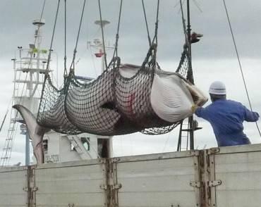 Strage di balene nel Mar Antartico