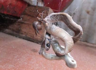 ragno mangia il serpente velenoso in Australia