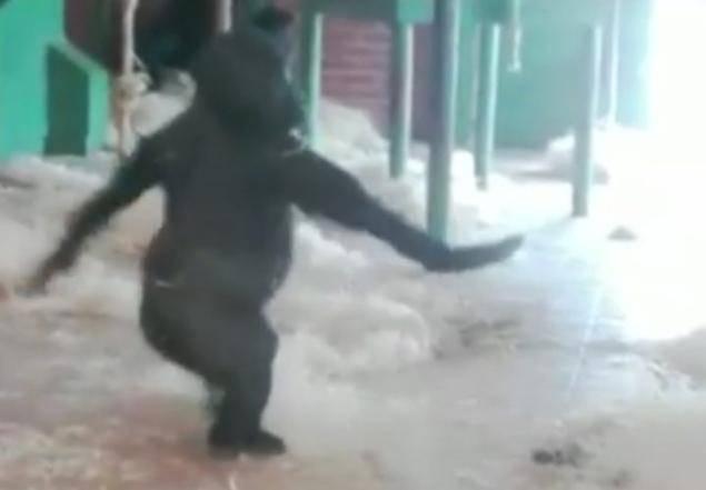 Il gorilla ballerino star del Web