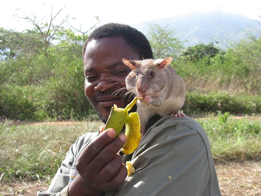 I ratti sanno diagnosticare la tubercolosi
