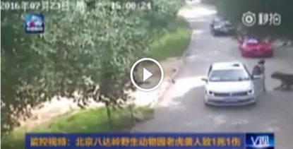 Donna aggredita da una tigre in uno Zoo safari cinese