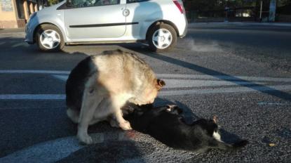 Il cane veglia il compagno investito, l'appello: