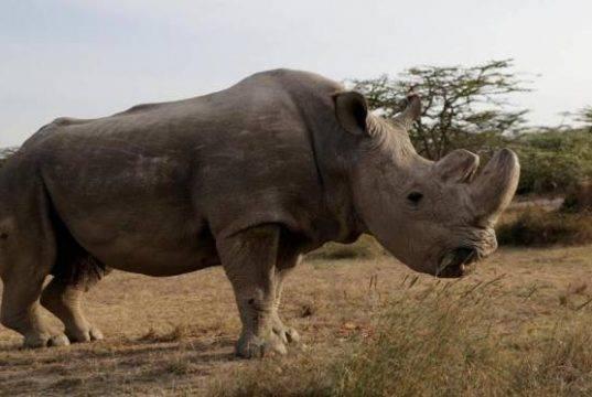 ultimo rinoceronte maschio