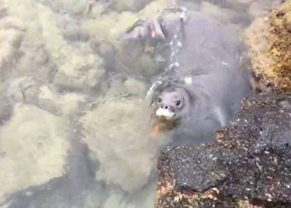 foca con un coltello in bocca