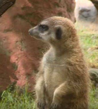 Il suricato ucciso in uno zoo dell'Ungheria