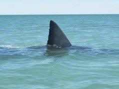 """Massimo allarme squali nei nostri mari: """"Avvistati a pochi metri dalla spiaggia"""" - VIDEO"""