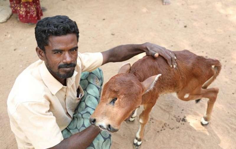 Vitello con due volti in India