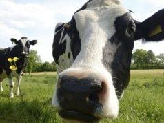 Il virus bovino è tornato?