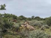 Leoni attaccano cucciolo di giraffa