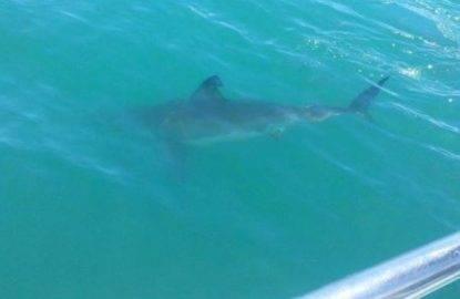 incontro con squalo bianco