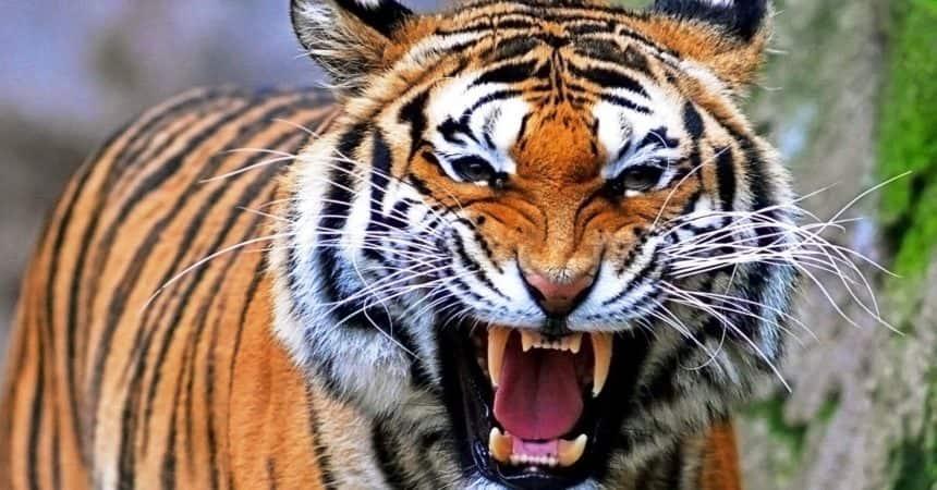 Entra nel recinto delle tigri e un felino gli stacca un braccio: uomo gravemente ferito in Calabria