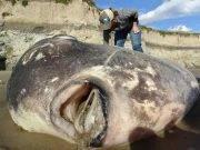 mola tecta california pesce