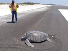 tartaruga depone su aeroporto