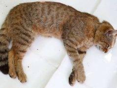 Nuova specie di felino scoperta in Corsica