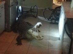 alligatore in casa