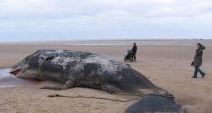 Cucciolo di capodoglio morto sulla spiaggia di Ostia