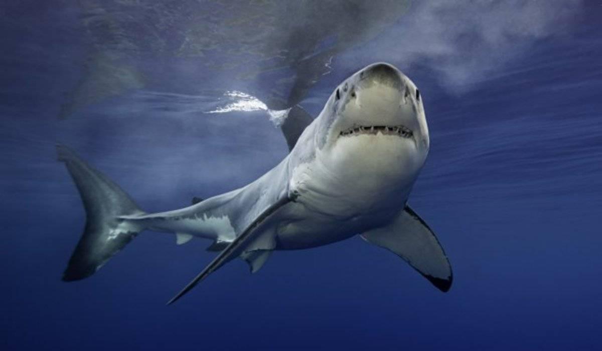 Cambiamenti climatici, migrazione squali bianchi