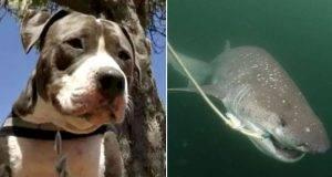 Uomo attaccato da uno squalo, viene salvato dal suo pitbull