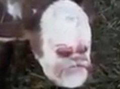 Vitello con volto umano