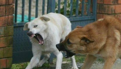 aggredito cani