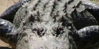 monetine alligatore