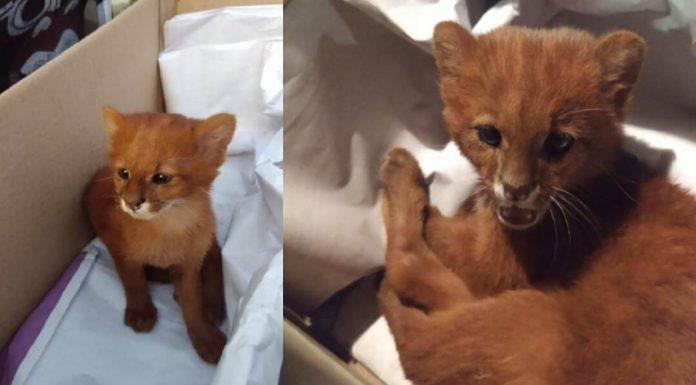 Argentina, adotta gattino ma è un puma