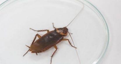scarafaggi orecchio
