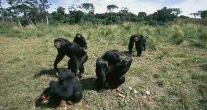 scimpanzè bambini