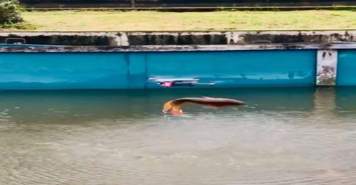 Pesce salta un metro e cerca di colpire un drone. Il filmato