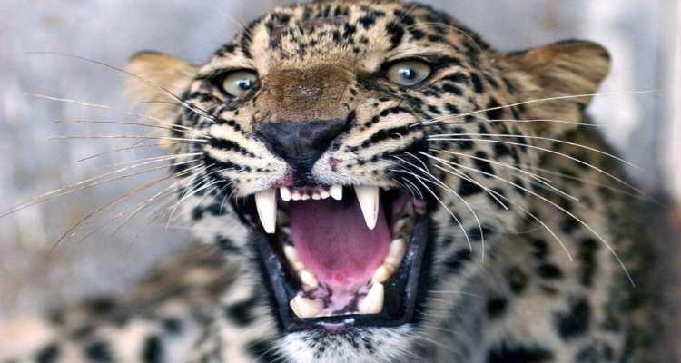 leopardo mangia bambino