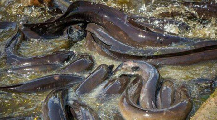ingoia anguille vive