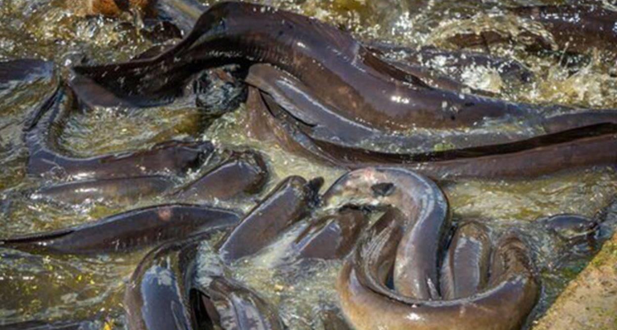Ingoia due anguille vive per curare la costipazione: rischia