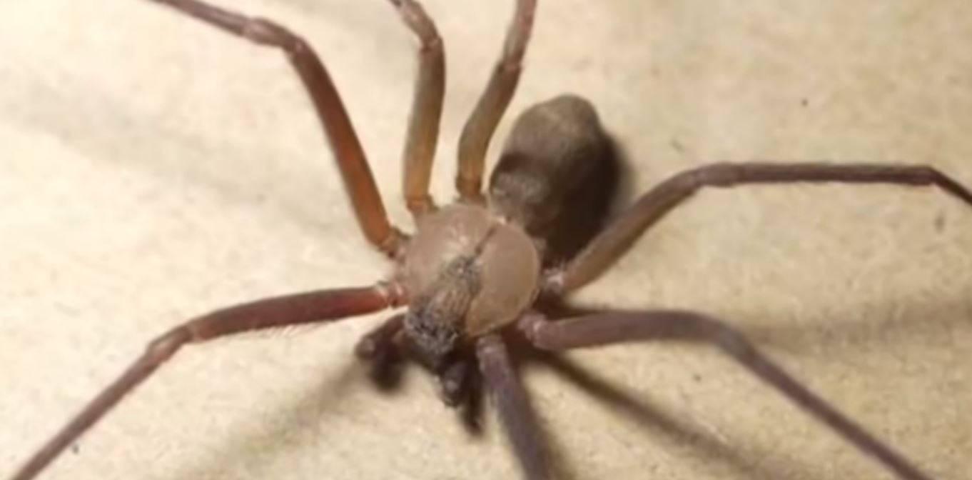 Morso da un ragno violino in ospedale, muore dopo tre infezi