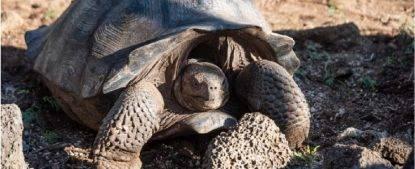 Tartaruga delle Galapagos non si è estinta