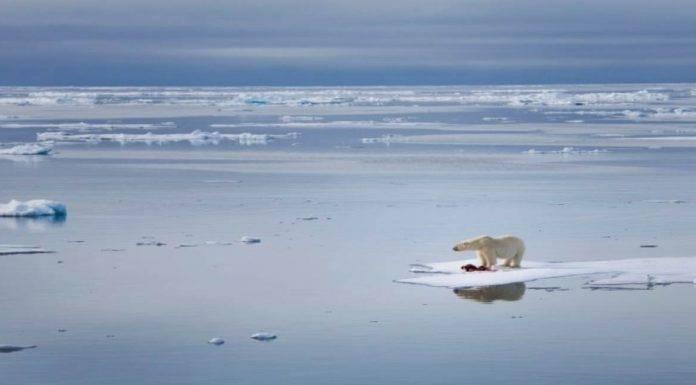 orsi polari estinzione