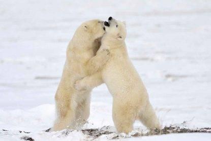 Orsi polari cannibali