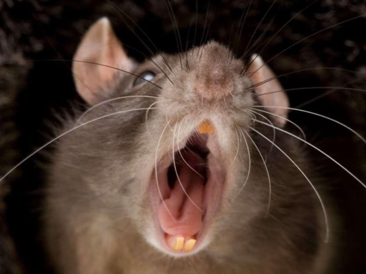 Veterano del Vietnam non può avere rapporti dopo che un topo l'ha morso nei genitali
