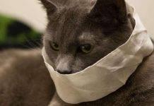 Coronavirus, gatto contagiato in Belgio dal suo padrone