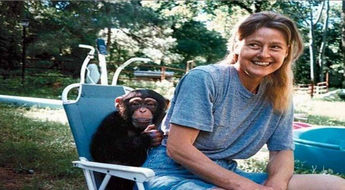 travis scimpanzè
