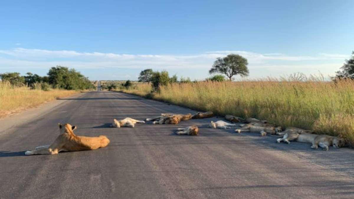 Coronavirus, anche i leoni beneficiano della quarantena: le strabilianti immagini