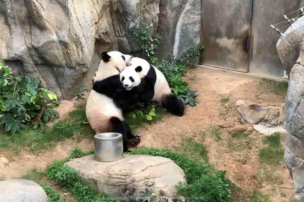 Primo rapporto per due panda dopo 10 anni: ci voleva il Coro